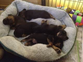 Caring for border terriers pups