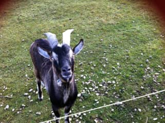 Brian the Goat says hello:)