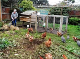 looking after the chooks