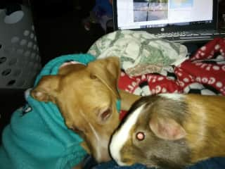 Trixie, hound dog, and Miss Daisy, guinea pig