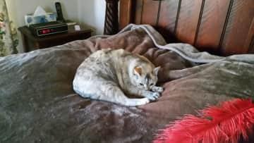 My naughty Tonkinese cat Mia