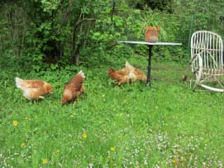 our 4 chickens, Berta, Liselotte, Ophelia and Henrietta (not alive anymore)