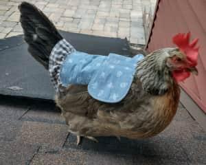 Chicken sitting in Chicago!