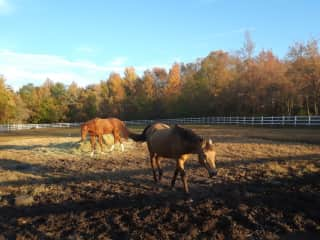 """Happy ponies coming in for feeding and a good leg cleaning during New England's """"mud season"""""""