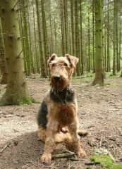 My old airedale Maggie