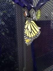 I raise Monarch Butterflies for fun.