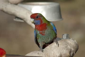 The occasional Eastern Rosella