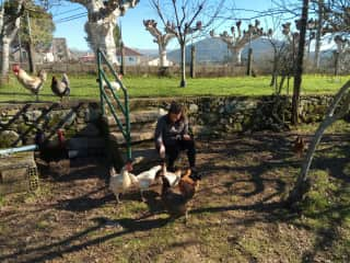 Feeding the hens in Galicia