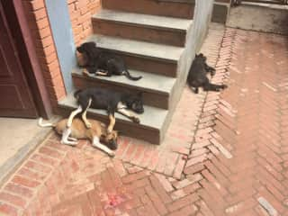 These are the dogs that nursed from little hand sized puppies to big puppies when I was living in Bhaktapur, Nepal for 2 months