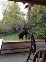 Moose in yard