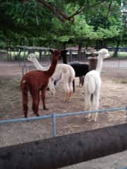 Alpacas make the sweetest sound.  What a treat working with these guys for a month in Kansas.