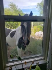 Our horse Bella looking into our living room