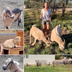 We've taken care of goats