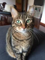 Mia is a friendly domestic shorthair cat.