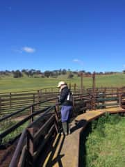 Sharon helping drench cattle.