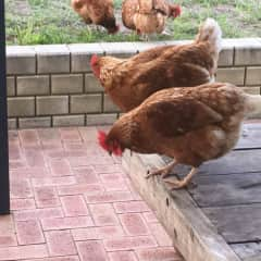 Esperance house sit chickens. Heaps of eggs.