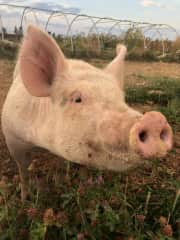 One of the pigs on the farm where I worked.