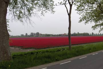 Tulipfields near our house
