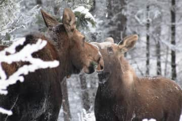 Moose and her son in wintertime