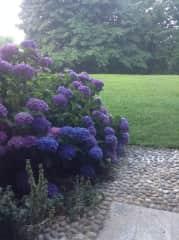 Hydrangea by portico