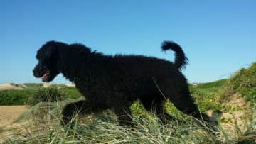 Gypsy is a very energetic poodle who loves attention