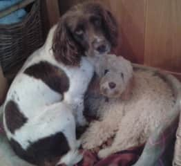 Dog and 8 month old Teddy (House sit in Dartmouth)