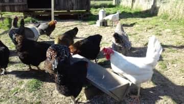 Chicken sitting in Hawick