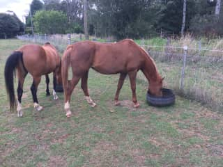 Arabian horses with house sit