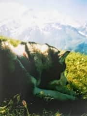 Our siberian husky Isko (Mont Blanc hiking)