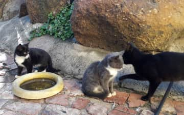 Another feral family has adopted us. Waiting for Lockdown to end so that we can have them sterilized. We'll ask neighbours to feed them when we are not here if we don't find homes for them. This is a major problem where we stay in South Africa.