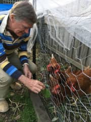 Keeping the hens happy in Northcote, Australia. We were rewarded with fresh eggs daily!