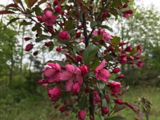 Blooming crabapple tree (in memory of my Mom) in our back yard in spring.