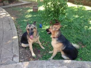 My favourite Shepherds ... Granada Nicaragua