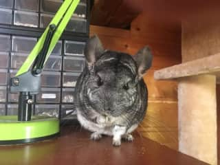 Chinchilla, used to kids and humans. Always looking to be petted