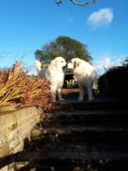 big doggies in Devon -  farmhouse sit 2018