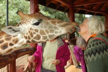 Even giraffes I love. This is at the giraffe center in Nairobi.