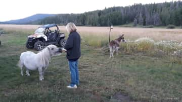 Cheryl is giving Mindy, the miniature horse and Sadie the donkey some apples as they watch the sunset. Winding River Resort in Grand Lake, CO.