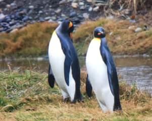 Seeing the penguins in Pattigonia Chile