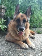 Gabe-German Shepherd I took care of in Michigan