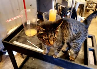 """Leo the winery cat """"helping"""" me run samples on the Viognier."""