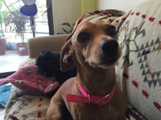 Audrey, the Dashsund I am pet sitting in Crucita, Ecuador-Winter 2018