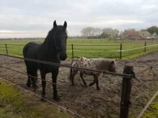 Lytske, the 600 kg Frysian horse (1,5 HP) and Sanne the Shetland pony.