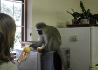 "A vervet monkey ""Boy boy"" who adopted us. A beautiful story I would love to share with you in person."