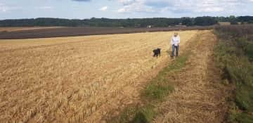 Donna walking Freddie through the barley fields near Favershsm