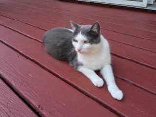 Vermont cat - a goregeous American shorthair