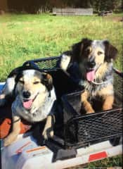 Our special border collie/ blue heeler cross dogs - Juno and Daisy.