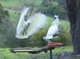Cockies on the feeder