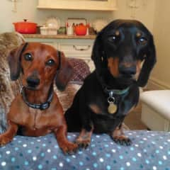 Our own two little Dachshunds Brothers Max and Hugo