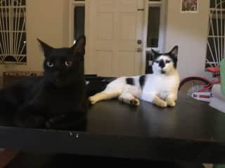 my two cats, jamu and goji. Jamu  (black one) is the neighborhood wanderer and Goji , who is much older, likes to stay home all day and bring me lizards. We rescued them both in the trash.