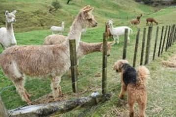 Some of the alpacas and Chewie, Airedale Terrier, at housesit near Tauranga, New Zealand